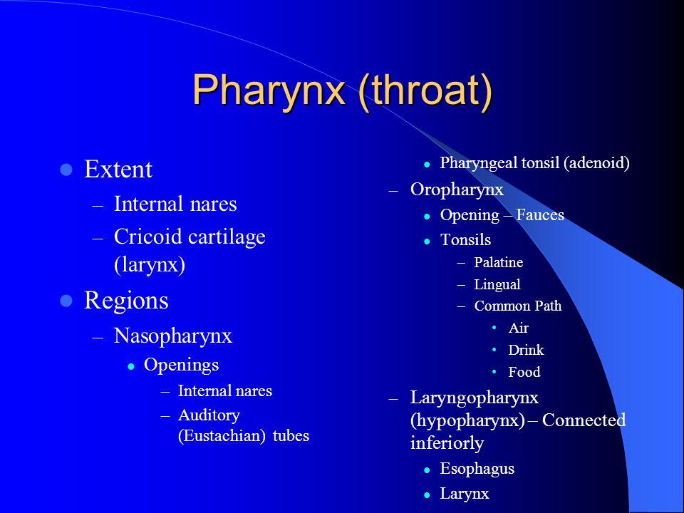 Pharynx (throat) Extent Regions Internal nares