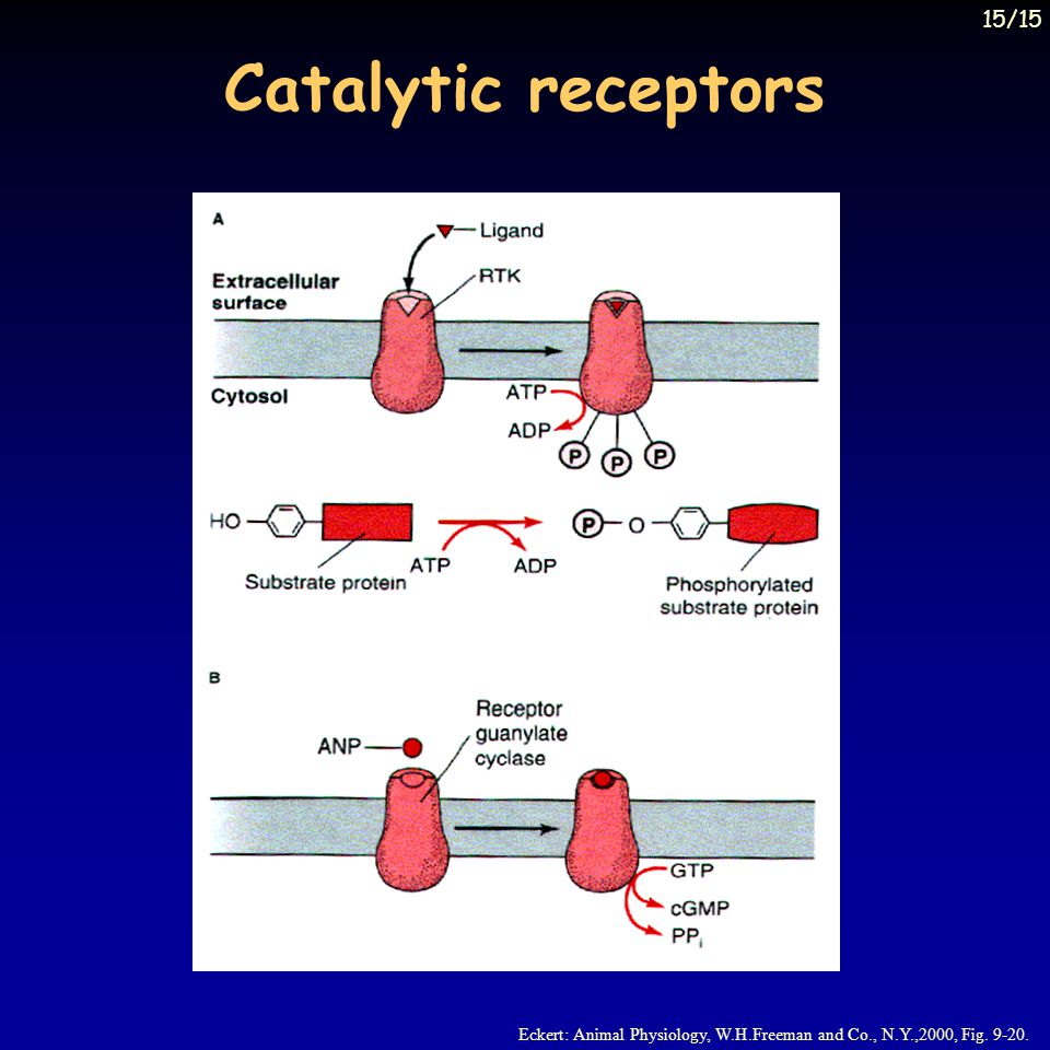 15/15 Catalytic receptors Eckert: Animal Physiology, W.H.Freeman and Co., N.Y.,2000, Fig. 9-20.
