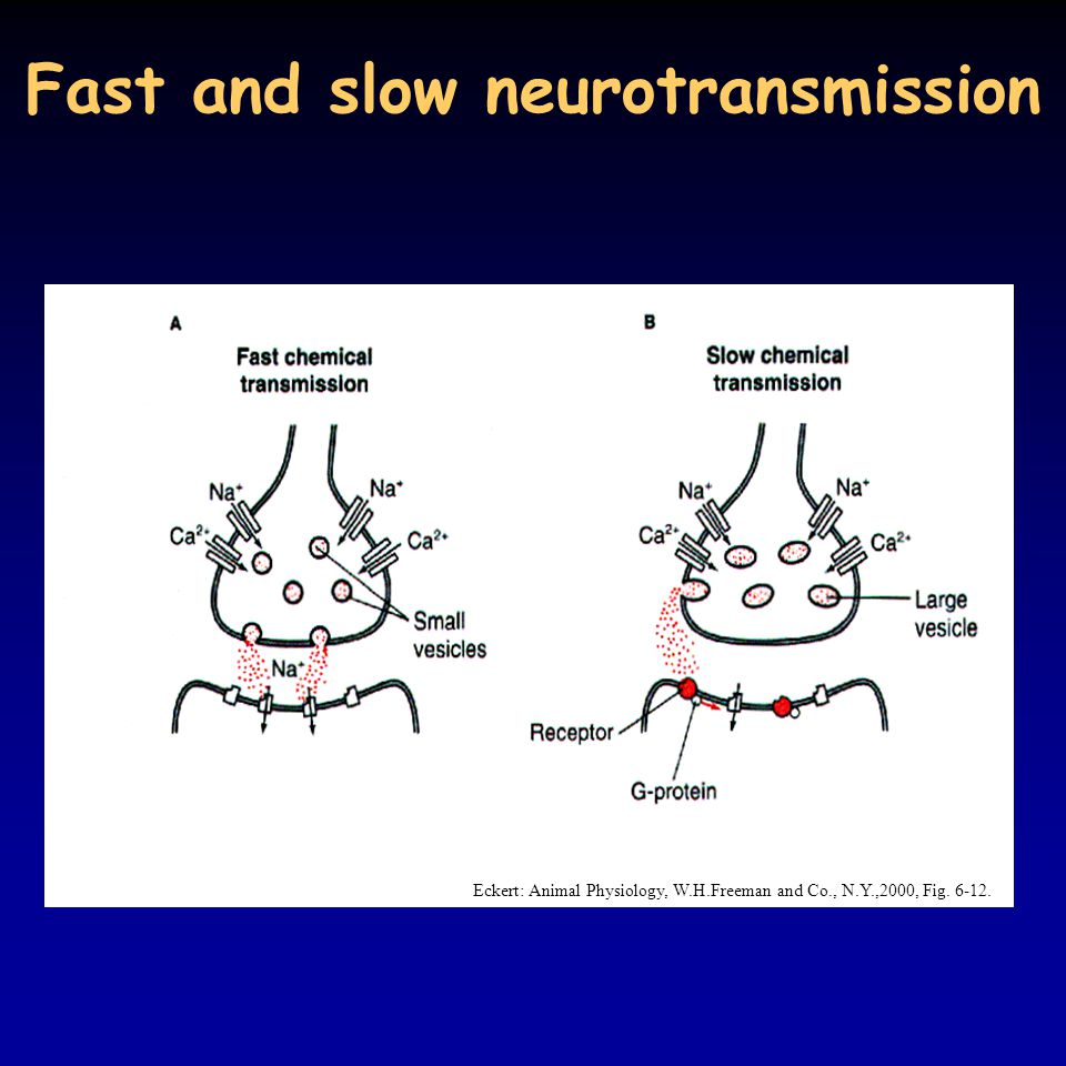 Fast and slow neurotransmission