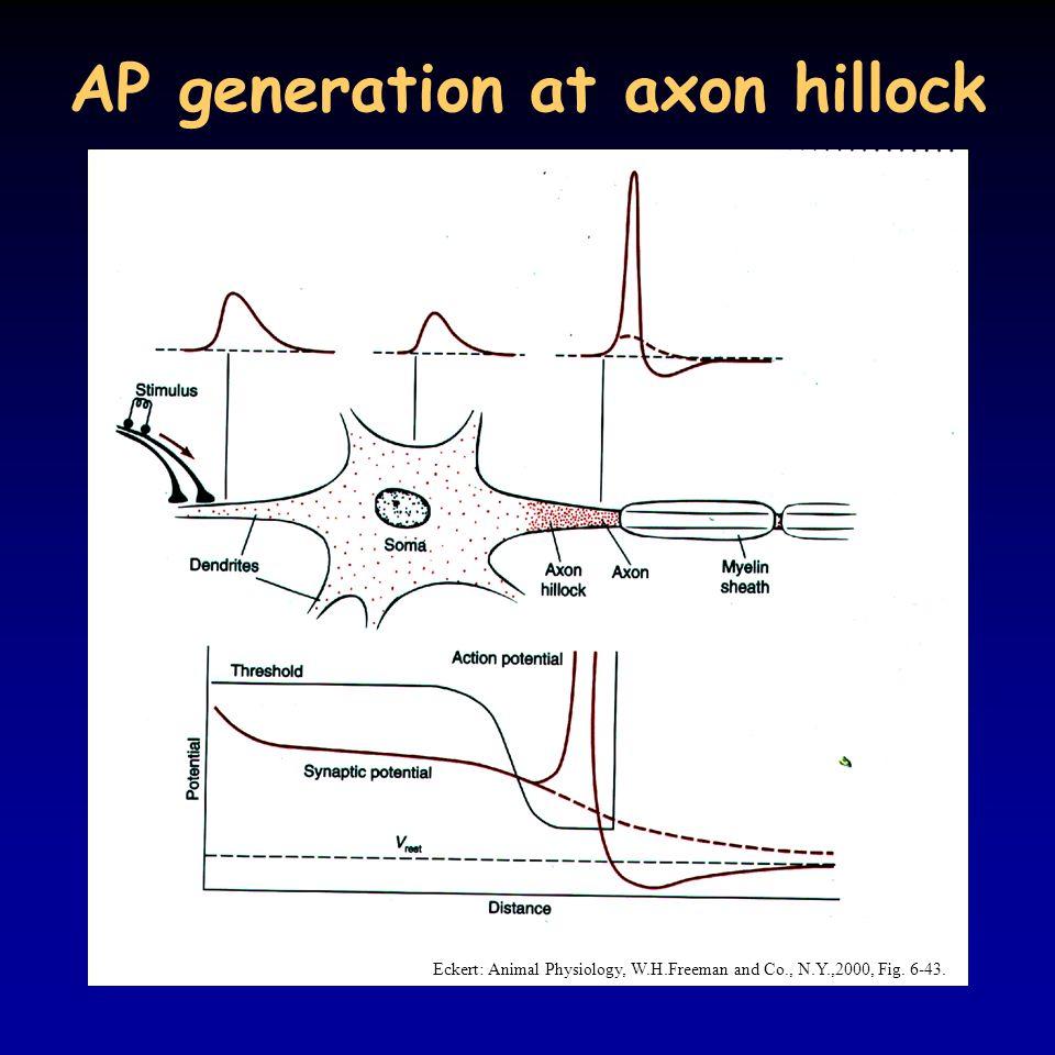 AP generation at axon hillock