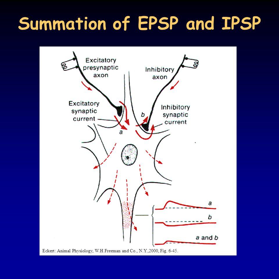 Summation of EPSP and IPSP
