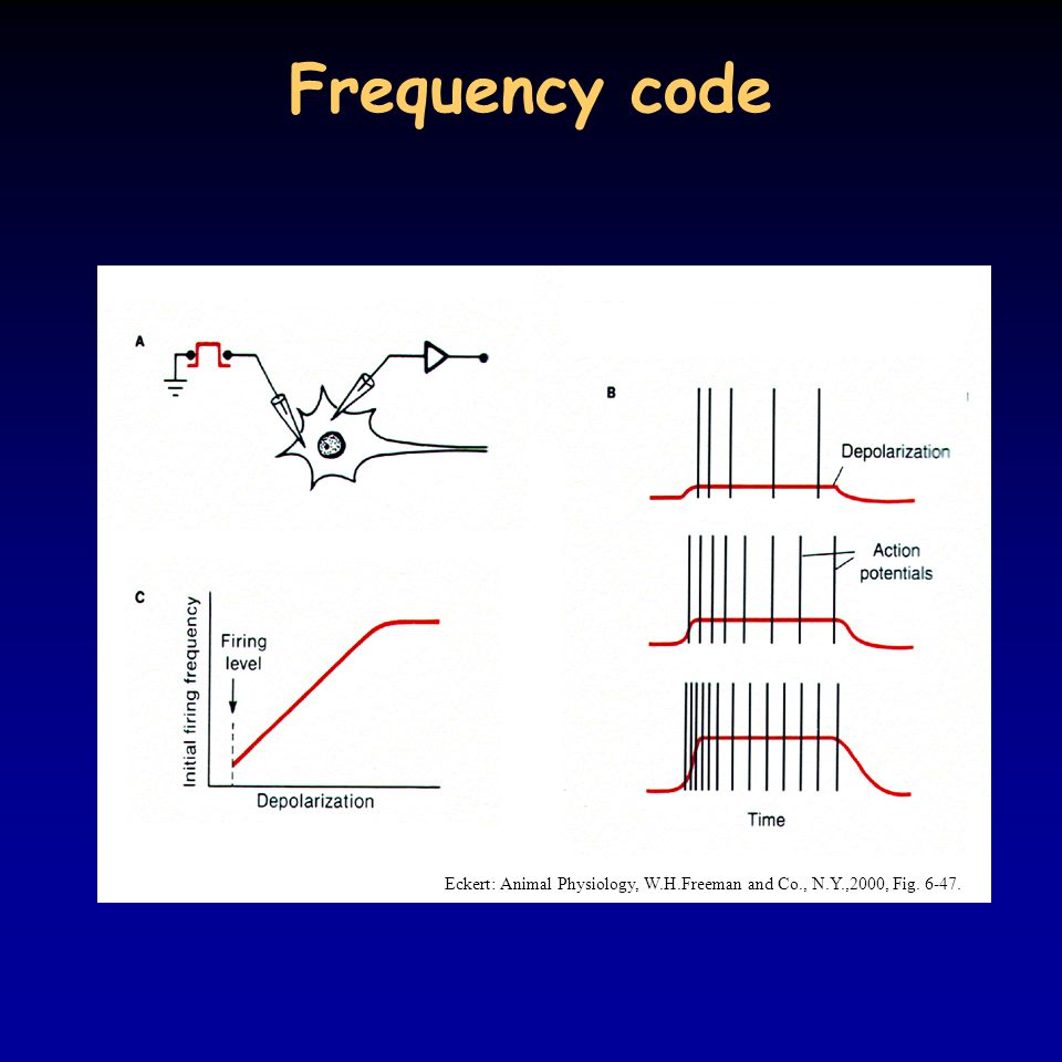 Frequency code Eckert: Animal Physiology, W.H.Freeman and Co., N.Y.,2000, Fig. 6-47.