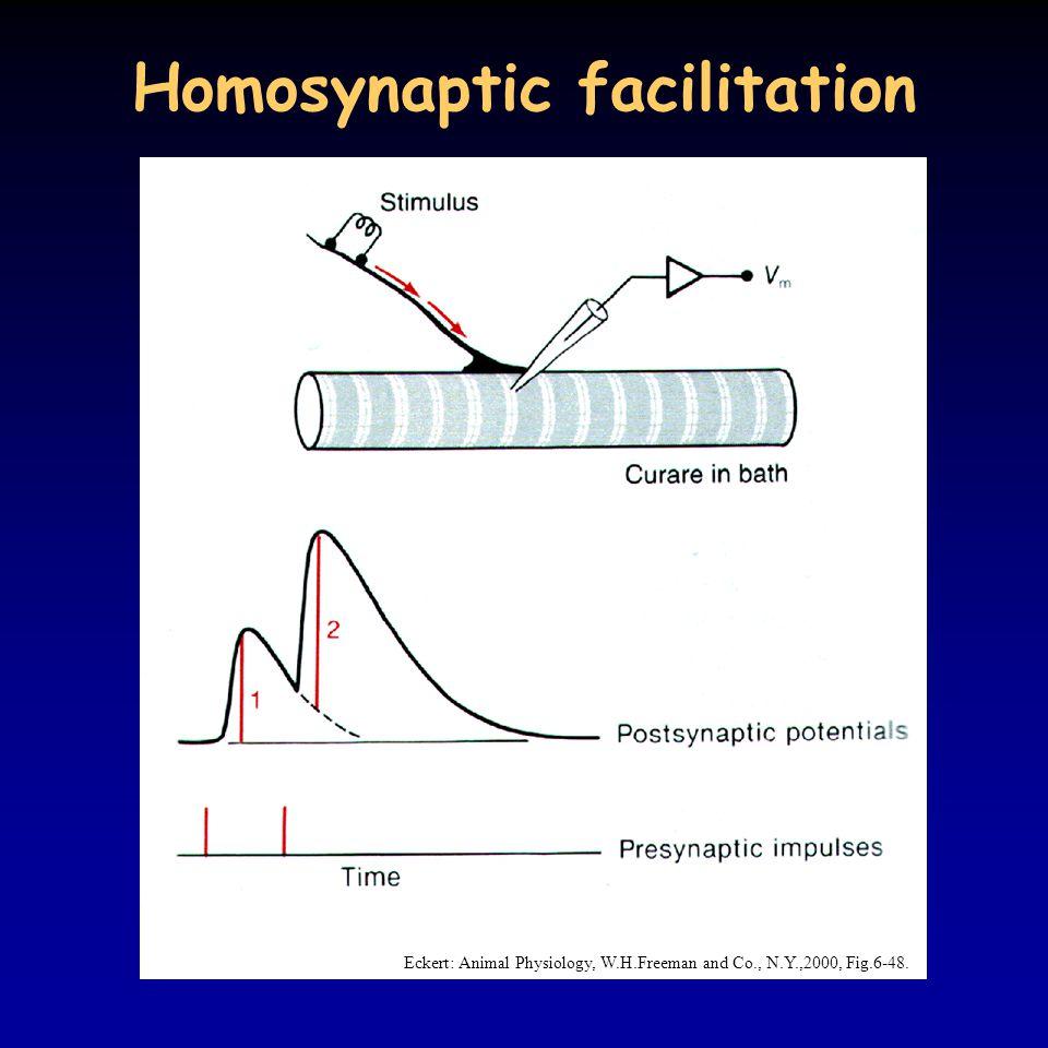 Homosynaptic facilitation