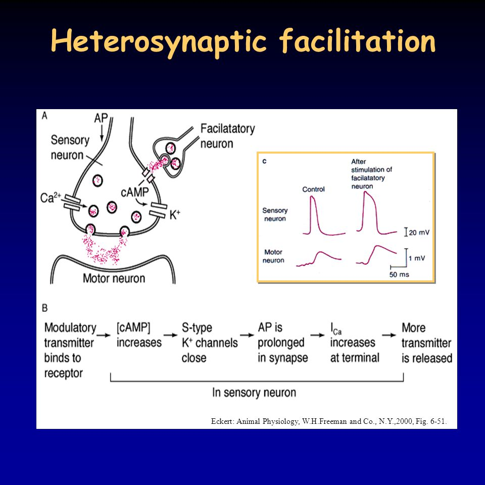 Heterosynaptic facilitation