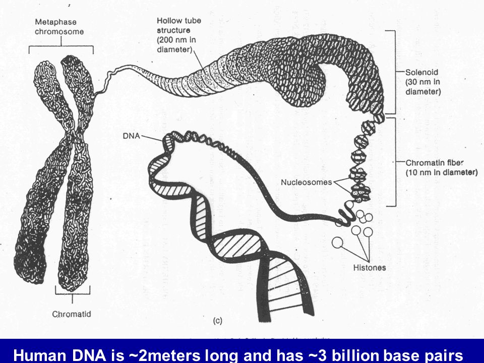 Human DNA is ~2meters long and has ~3 billion base pairs