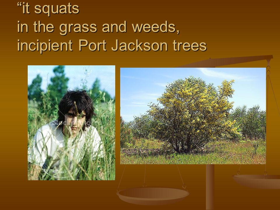 it squats in the grass and weeds, incipient Port Jackson trees