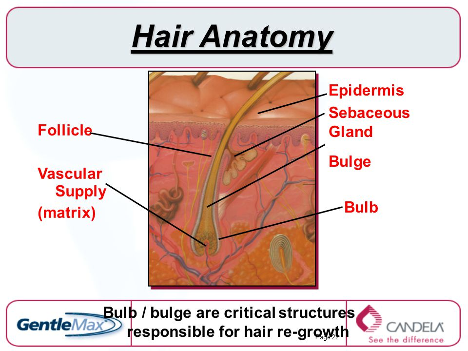 Bulb / bulge are critical structures responsible for hair re-growth