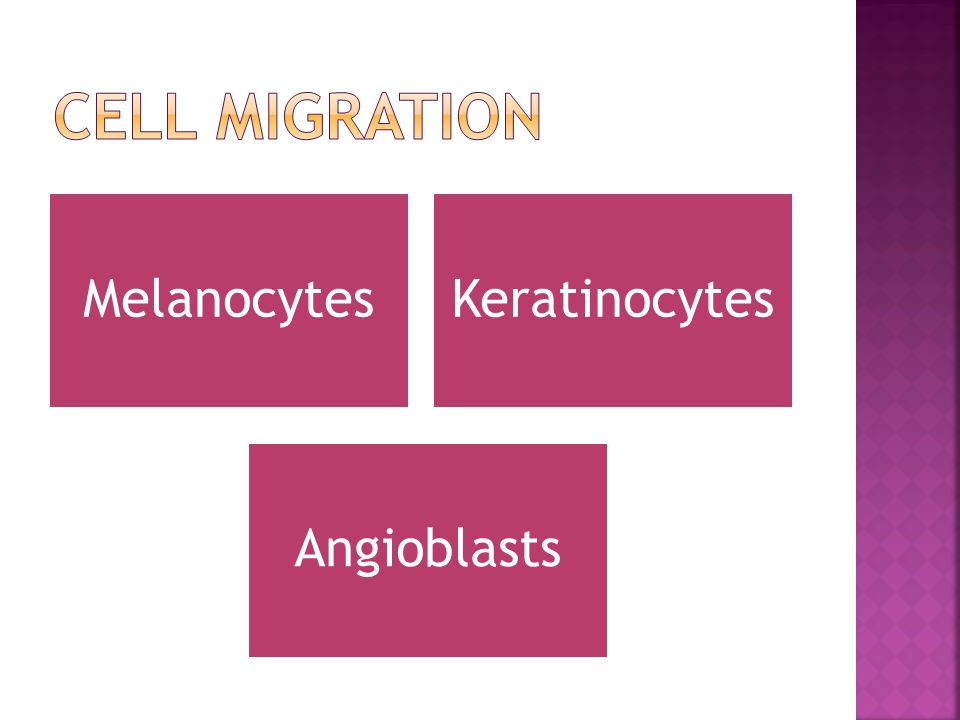 CELL MIGRATION Keratinocytes Melanocytes Angioblasts