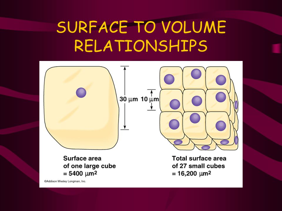 SURFACE TO VOLUME RELATIONSHIPS