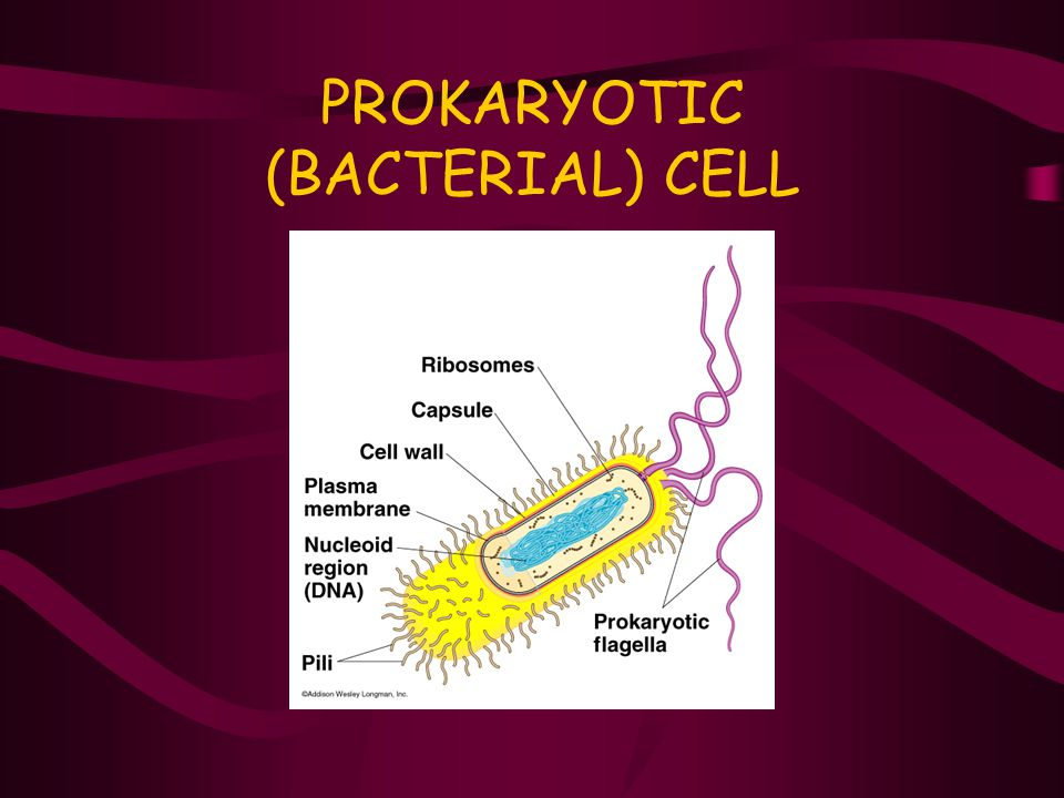PROKARYOTIC (BACTERIAL) CELL
