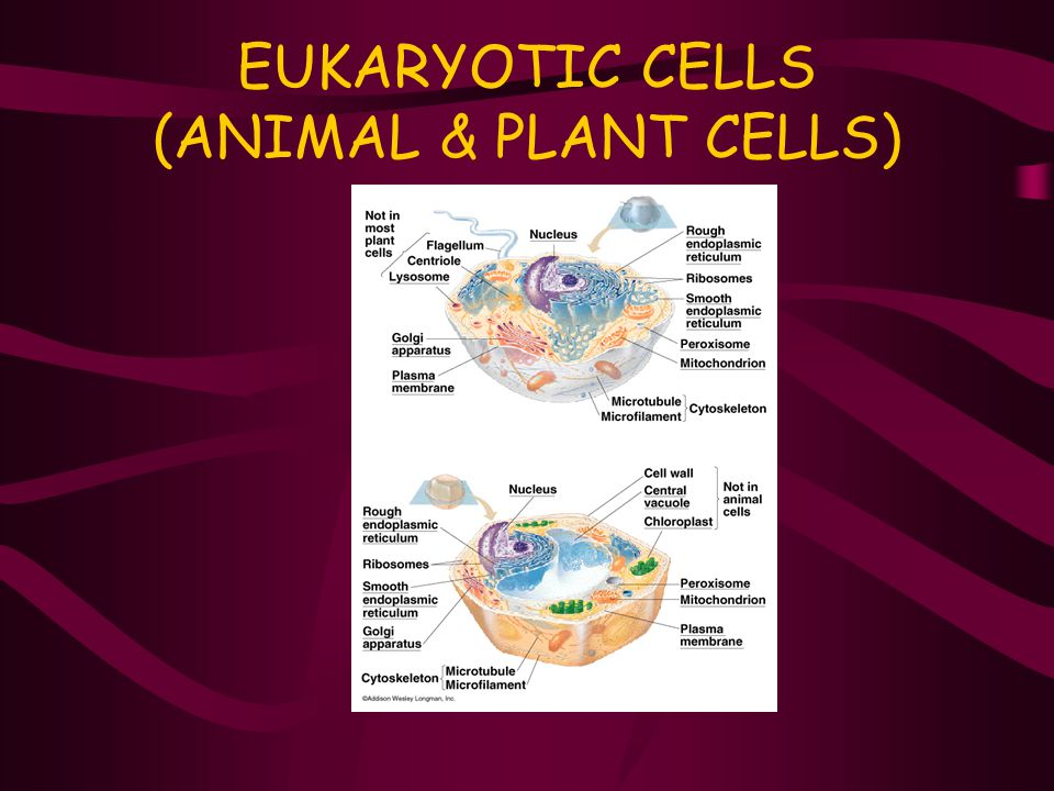 EUKARYOTIC CELLS (ANIMAL & PLANT CELLS)