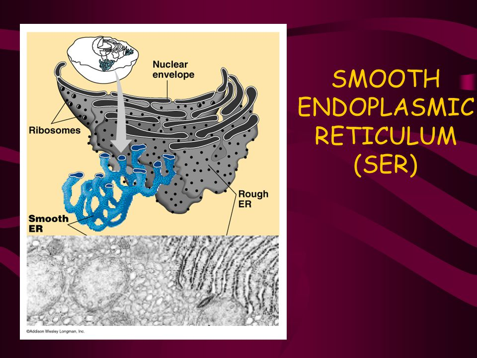 SMOOTH ENDOPLASMIC RETICULUM (SER)