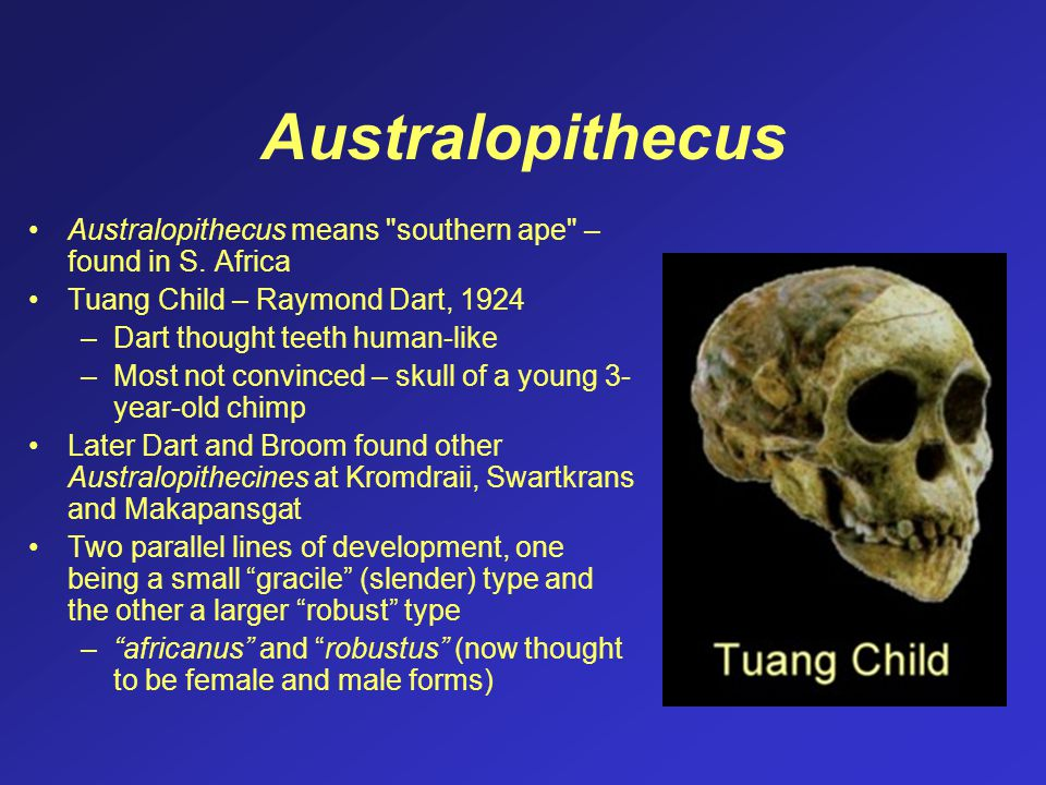 Australopithecus Australopithecus means southern ape – found in S. Africa. Tuang Child – Raymond Dart, 1924.