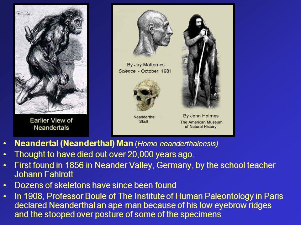 Neandertal (Neanderthal) Man (Homo neanderthalensis)