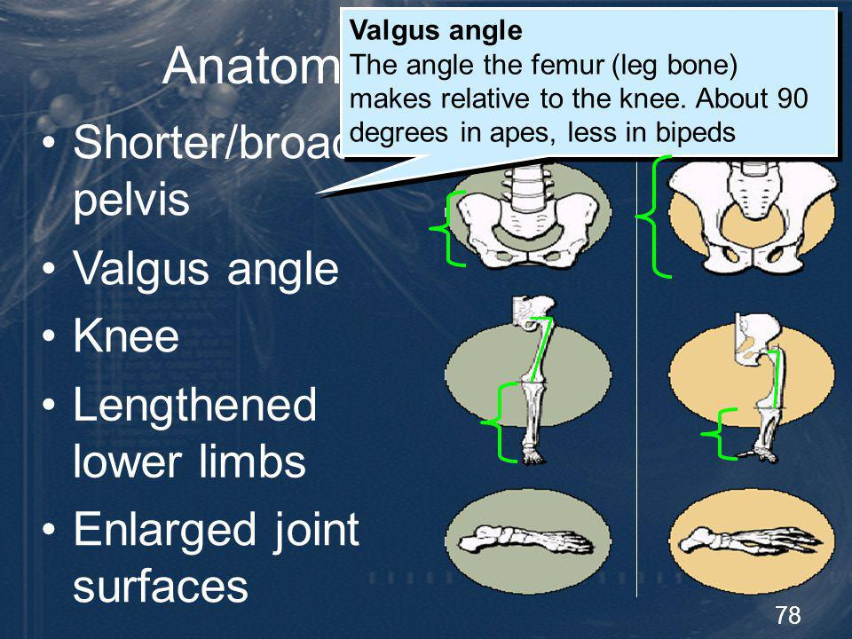 Anatomy of Bipedalism Shorter/broader pelvis Valgus angle Knee