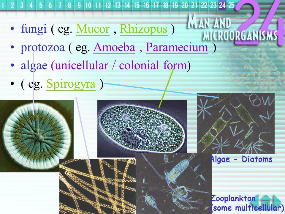 fungi ( eg. Mucor , Rhizopus ) protozoa ( eg. Amoeba , Paramecium )