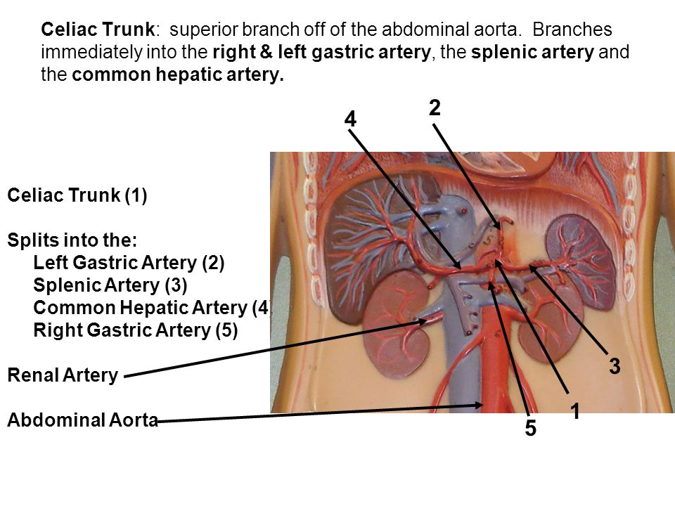 Celiac Trunk: superior branch off of the abdominal aorta