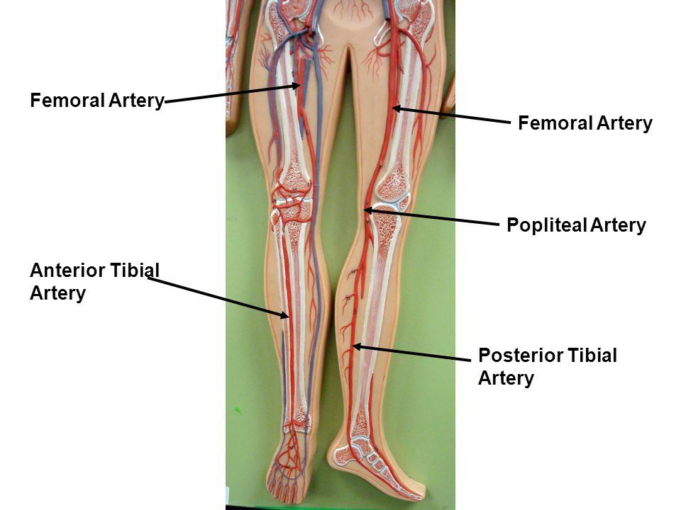 Femoral Artery Femoral Artery Popliteal Artery Anterior Tibial Artery Posterior Tibial Artery