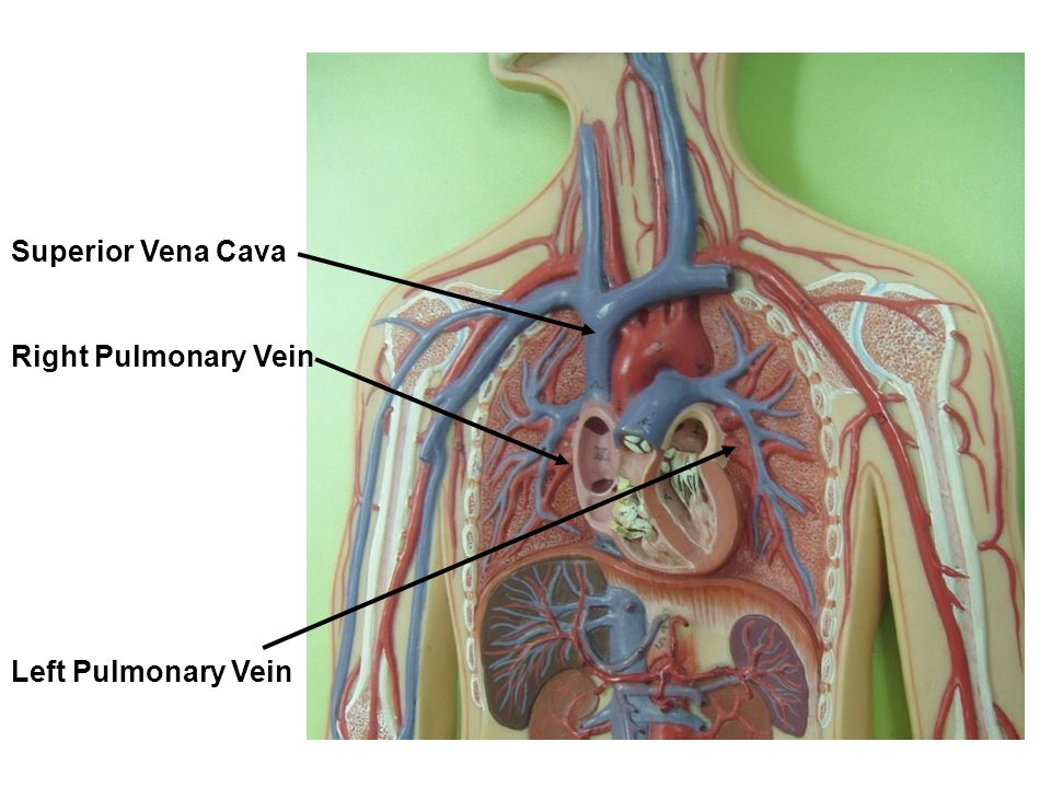 Superior Vena Cava Right Pulmonary Vein Left Pulmonary Vein