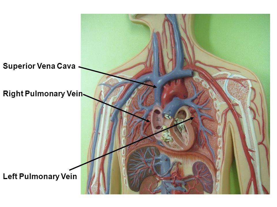 Superior Vena Cava Right Pulmonary Vein Left Pulmonary Vein