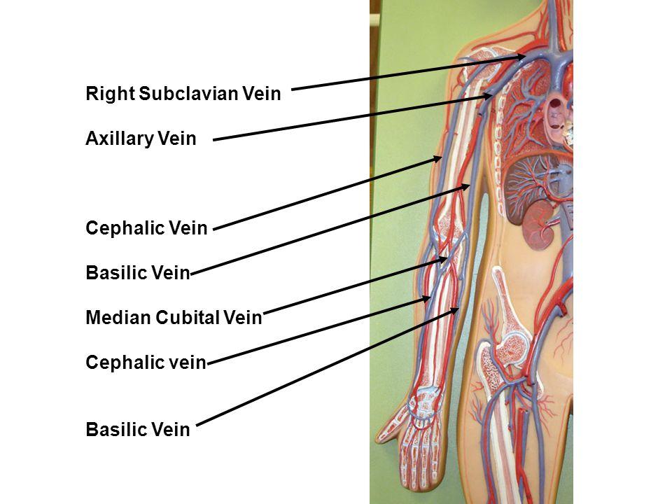 Right Subclavian Vein Axillary Vein Cephalic Vein Basilic Vein Median Cubital Vein Cephalic vein