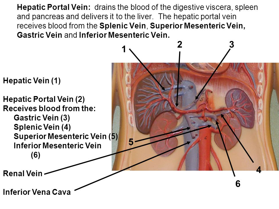 Hepatic Portal Vein: drains the blood of the digestive viscera, spleen and pancreas and delivers it to the liver. The hepatic portal vein receives blood from the Splenic Vein, Superior Mesenteric Vein, Gastric Vein and Inferior Mesenteric Vein.