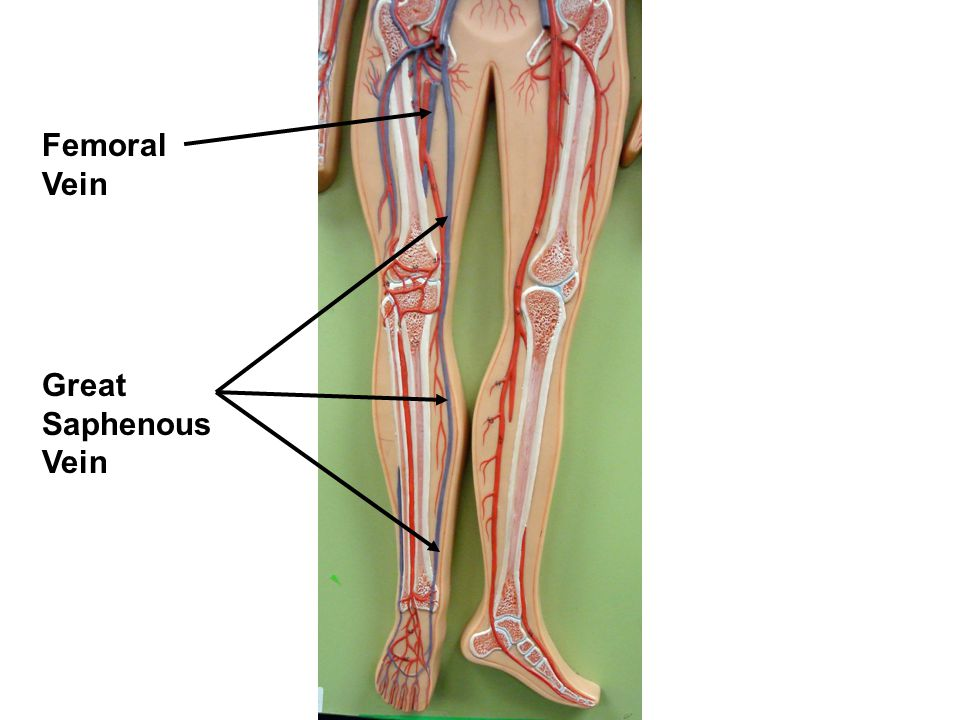 Femoral Vein Great Saphenous Vein