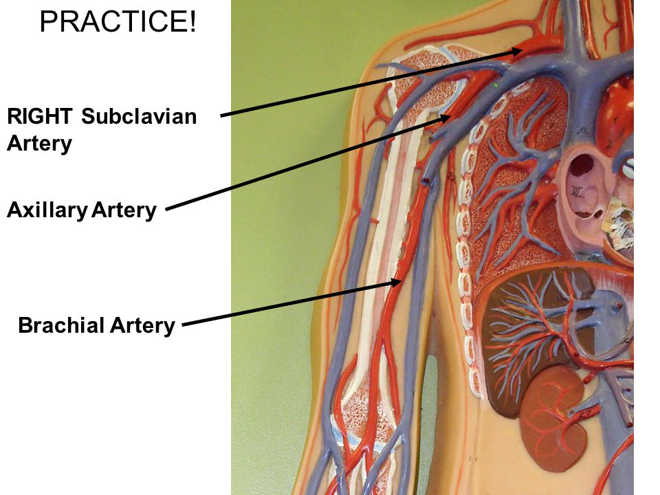PRACTICE! RIGHT Subclavian Artery Axillary Artery Brachial Artery