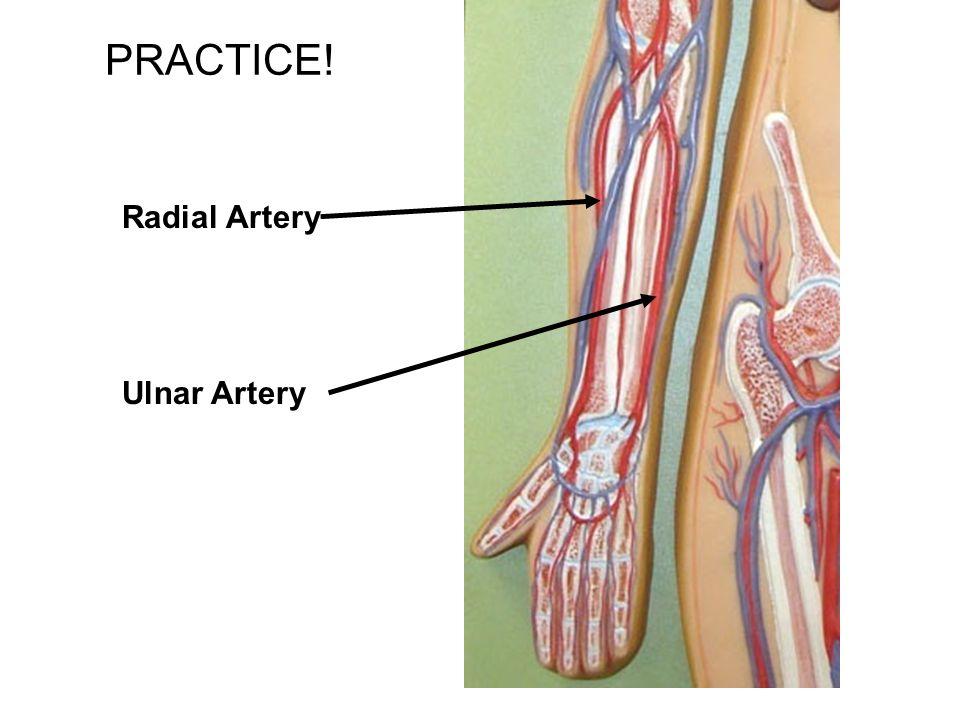 PRACTICE! Radial Artery Ulnar Artery