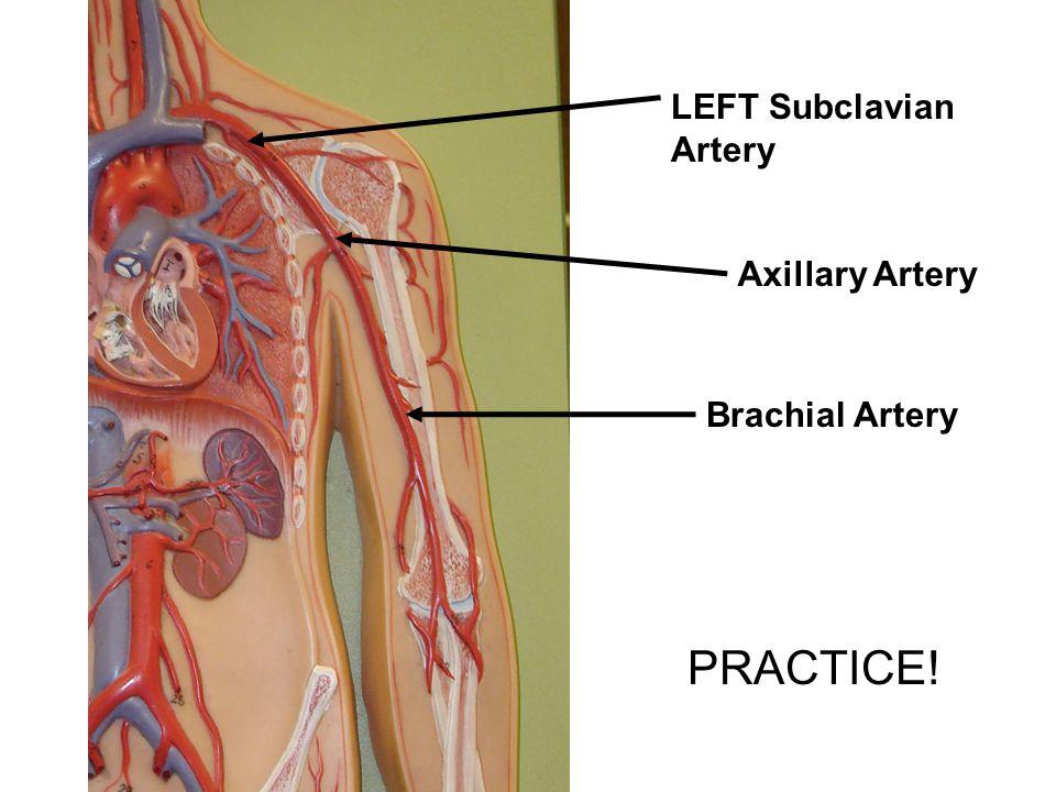 Anatomy of brachial artery