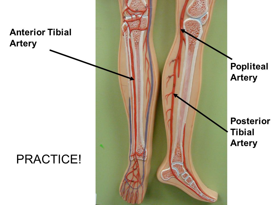 PRACTICE! Anterior Tibial Artery Popliteal Artery Posterior Tibial