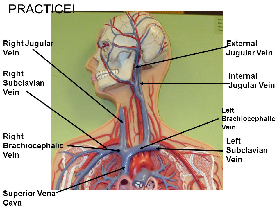 PRACTICE! Right Jugular Vein External Jugular Vein Right Subclavian