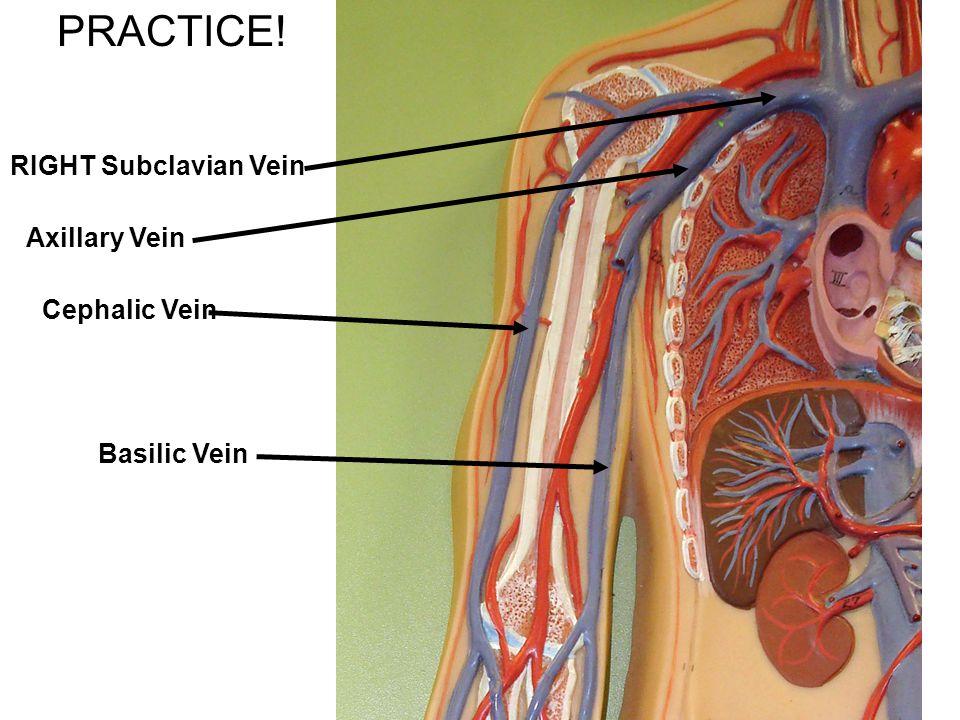 PRACTICE! RIGHT Subclavian Vein Axillary Vein Cephalic Vein