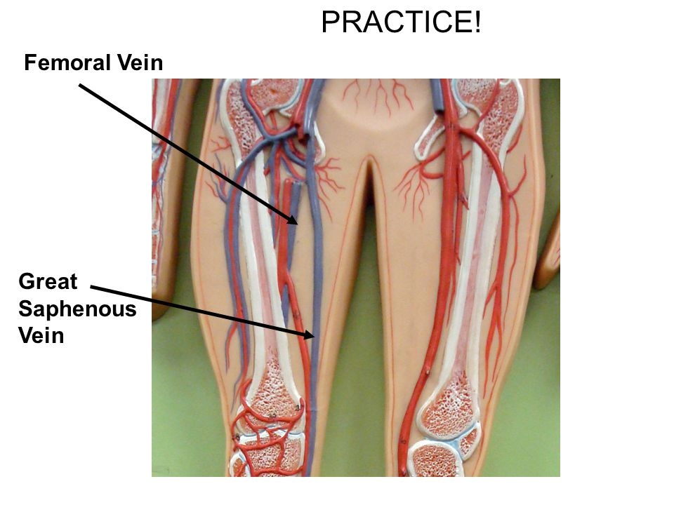 PRACTICE! Femoral Vein Great Saphenous Vein