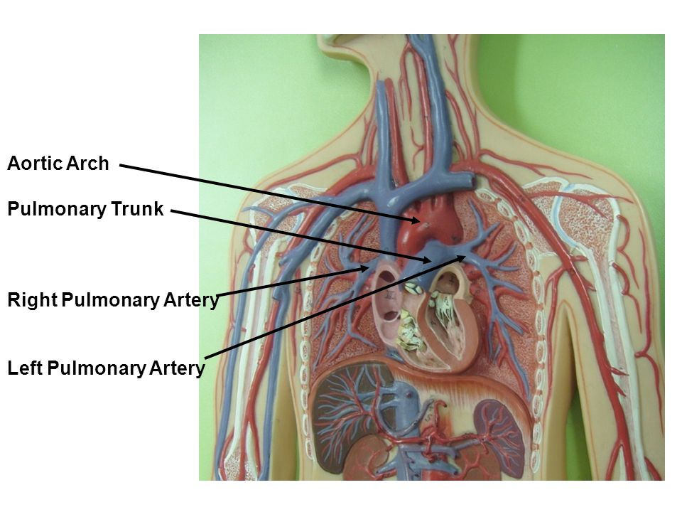 Aortic Arch Pulmonary Trunk Right Pulmonary Artery Left Pulmonary Artery