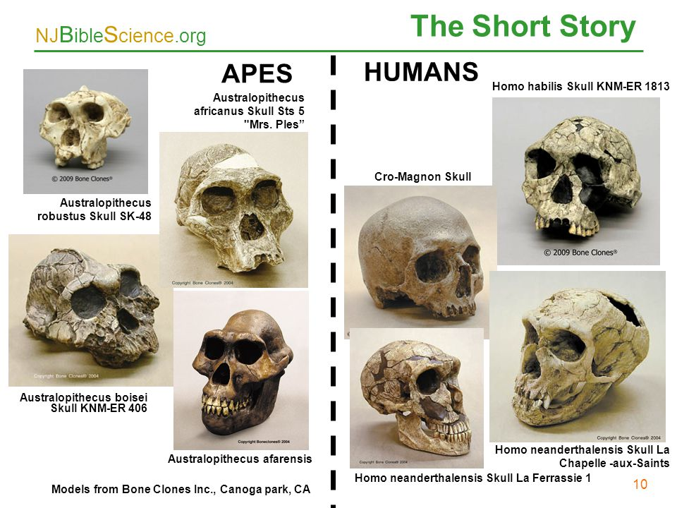 The Short Story 10 APES HUMANS 10 Homo habilis Skull KNM-ER 1813