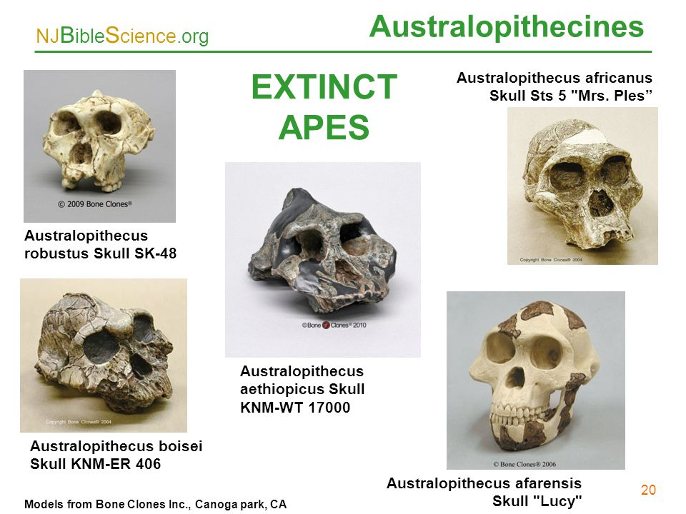 EXTINCT APES Australopithecines 20