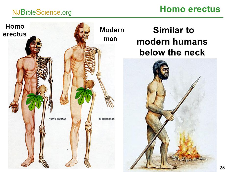 Similar to modern humans below the neck