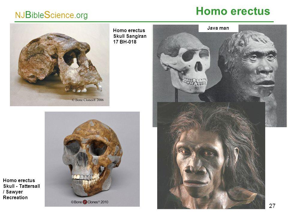 Homo erectus 27 Java man Homo erectus Skull Sangiran 17 BH-018
