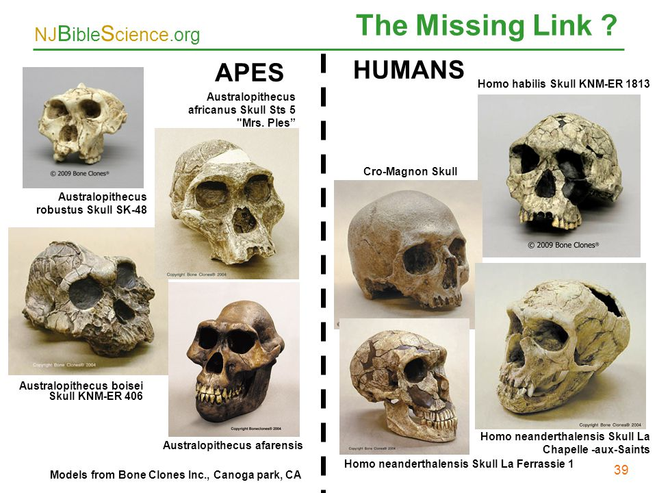 The Missing Link 39 HUMANS APES 39 Homo habilis Skull KNM-ER 1813
