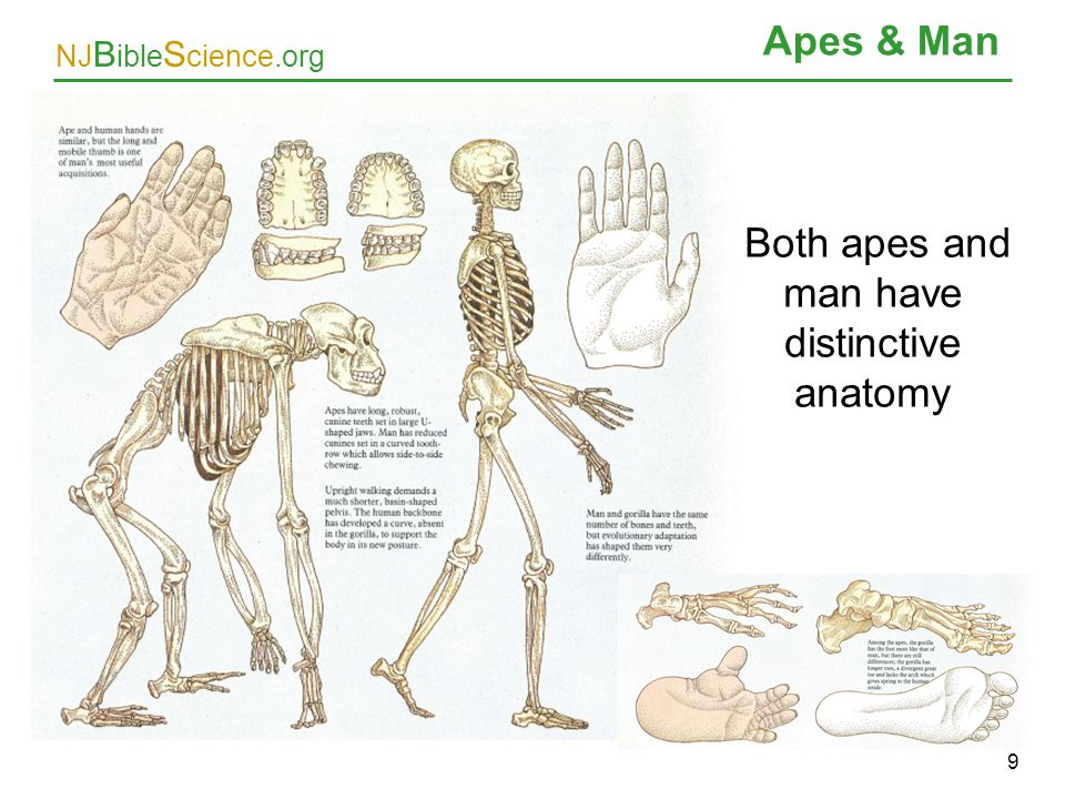 Both apes and man have distinctive anatomy
