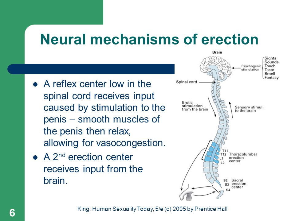 Neural mechanisms of erection