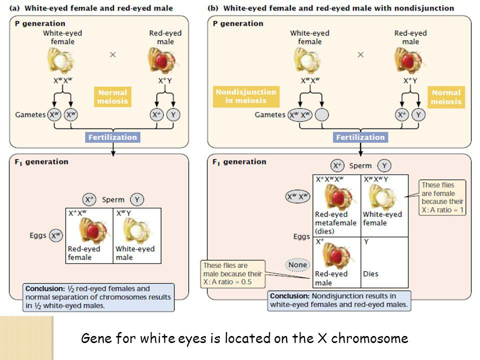 Gene for white eyes is located on the X chromosome