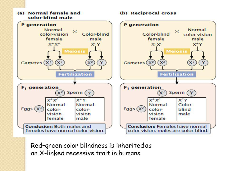 Red–green color blindness is inherited as an X-linked recessive trait in humans