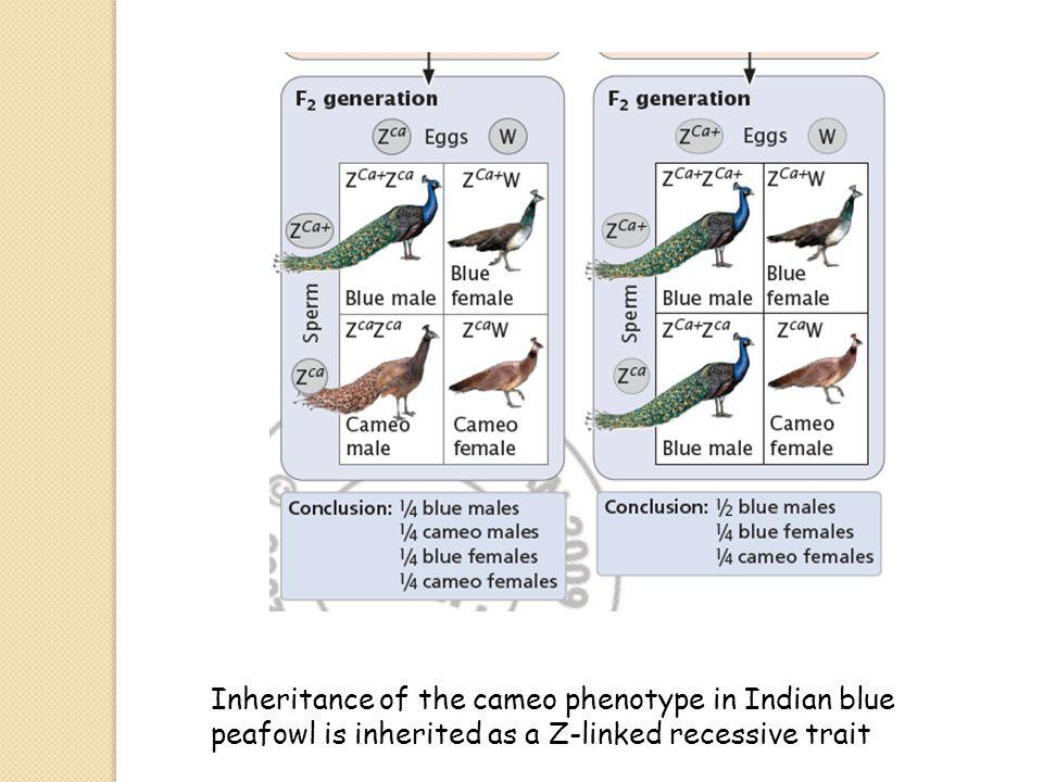Inheritance of the cameo phenotype in Indian blue peafowl is inherited as a Z-linked recessive trait