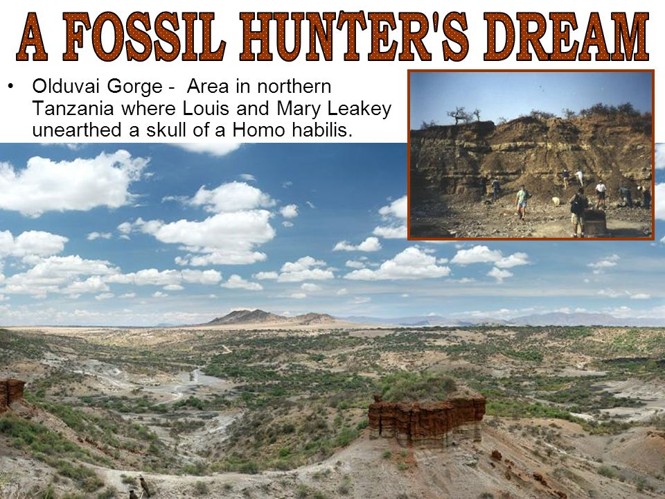 A FOSSIL HUNTER S DREAM Olduvai Gorge - Area in northern Tanzania where Louis and Mary Leakey unearthed a skull of a Homo habilis.