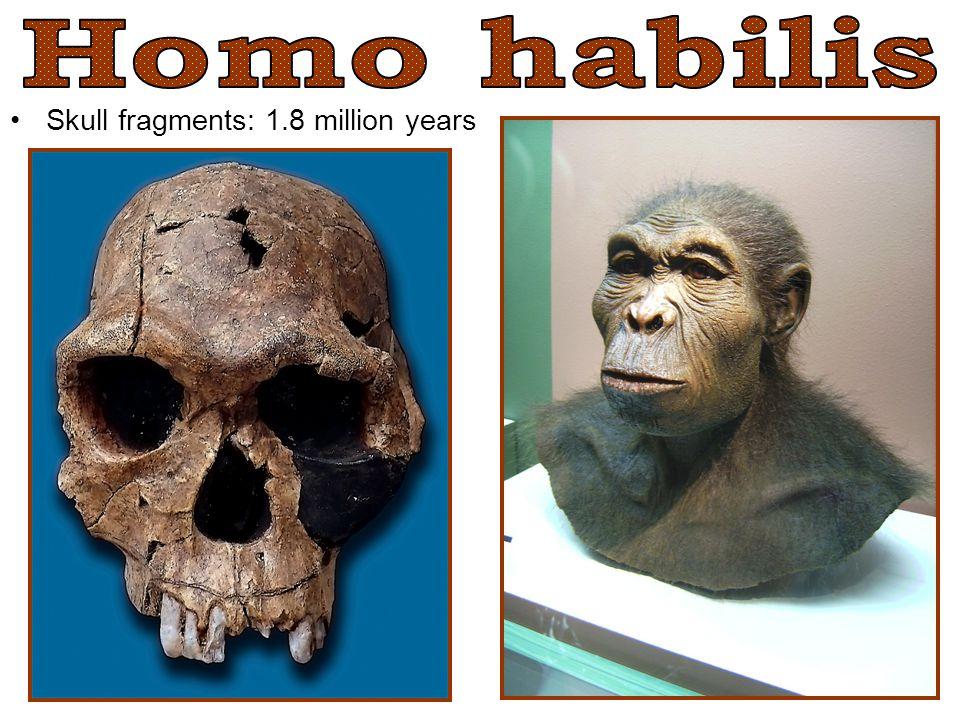 Homo habilis Skull fragments: 1.8 million years