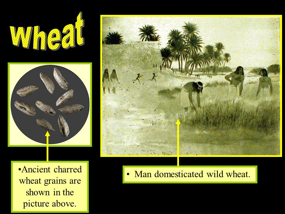 Ancient charred wheat grains are shown in the picture above.