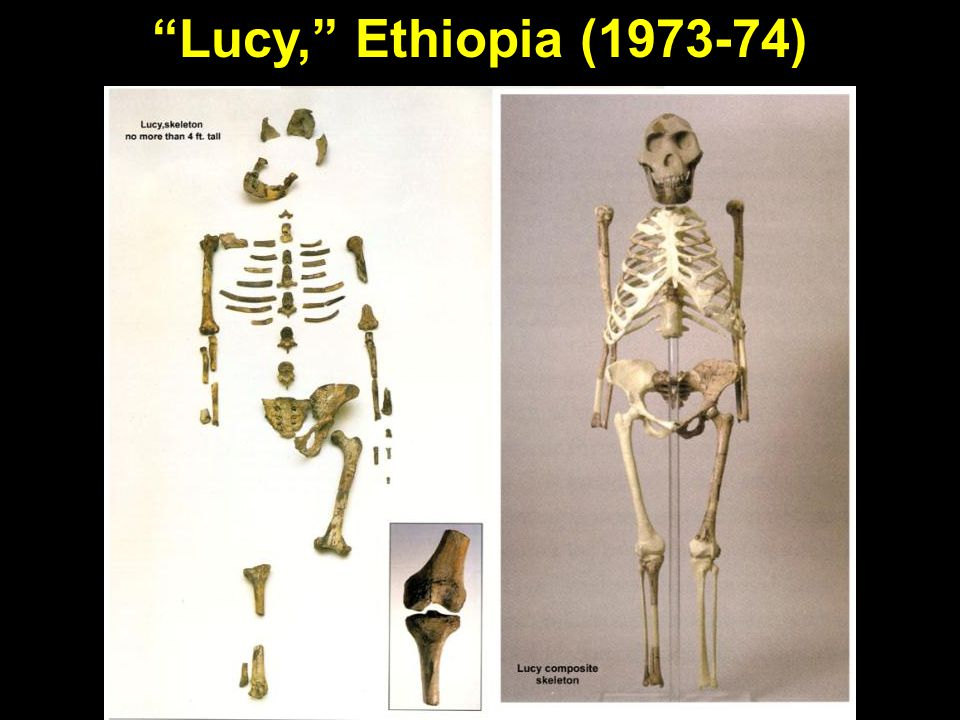 Lucy, partial and full Lucy, Ethiopia (1973-74)