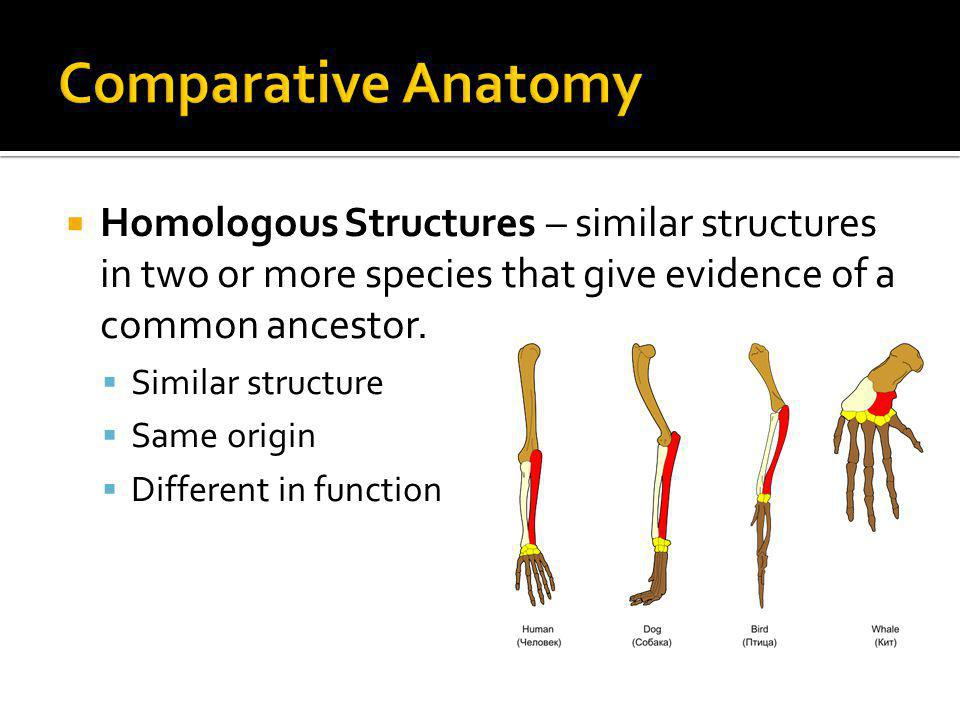 Comparative Anatomy Homologous Structures – similar structures in two or more species that give evidence of a common ancestor.